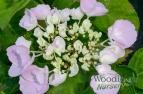 Hydrangea macrophylla Hobella