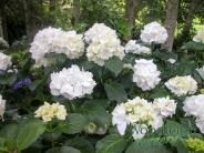 Hydrangea macrophylla Immaculata