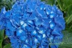 Hydrangea macrophylla Renate Steiniger (San Marcos)