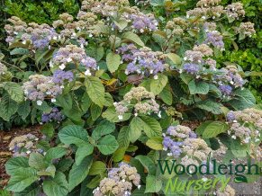 Hydrangea New Beginnings