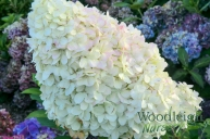 Hydrangea serrata Glyn Church