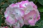 Hydrangea serrata Glyn Church