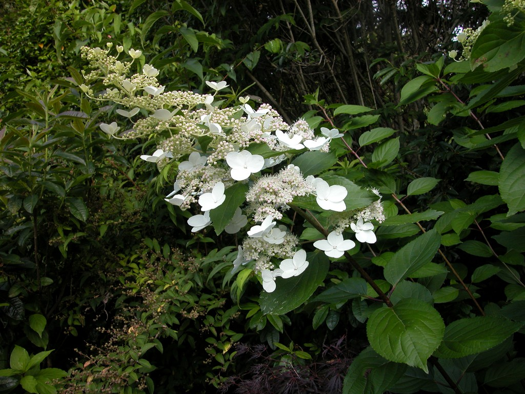 hydrangea paniculata kyushu woodleigh nursery. Black Bedroom Furniture Sets. Home Design Ideas