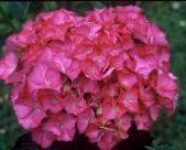 Hydrangea macrophylla Leuchtfeur