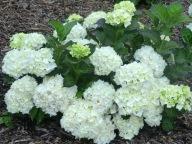 Hydrangea macrophylla Mme Emile Mouillere