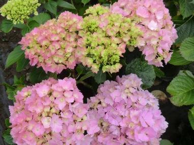 Hydrangea macrophylla Mrs Kumiko