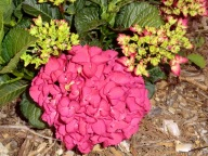 Hydrangea macrophylla P Red