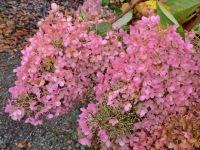 Hydrangea paniculata Grandiflora (autumn tones)