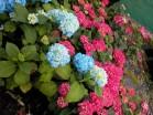 Hydrangea macrophylla Red Emperor