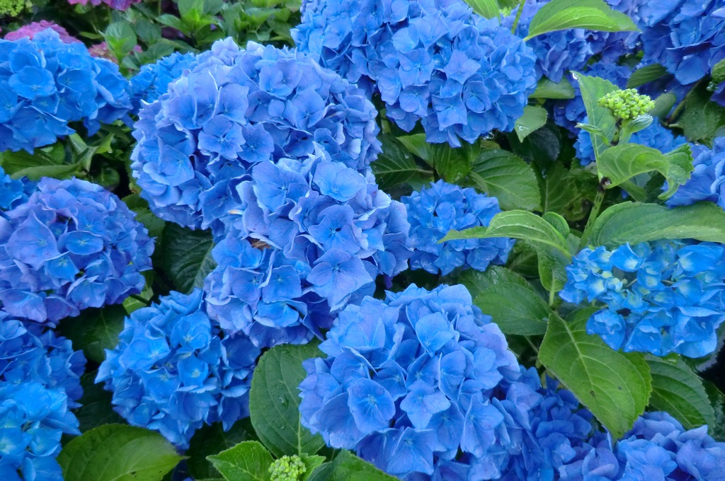 how to make your hydrangea blue