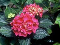 Hydrangea macrophylla Rheinland