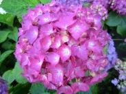 Hydrangea macrophylla Rochambeau