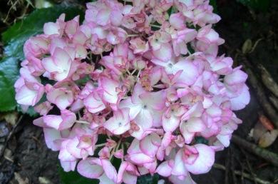 Hydrangea macrophylla Sabrina