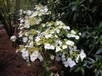 Hydrangea scandens chinensis f. formosana