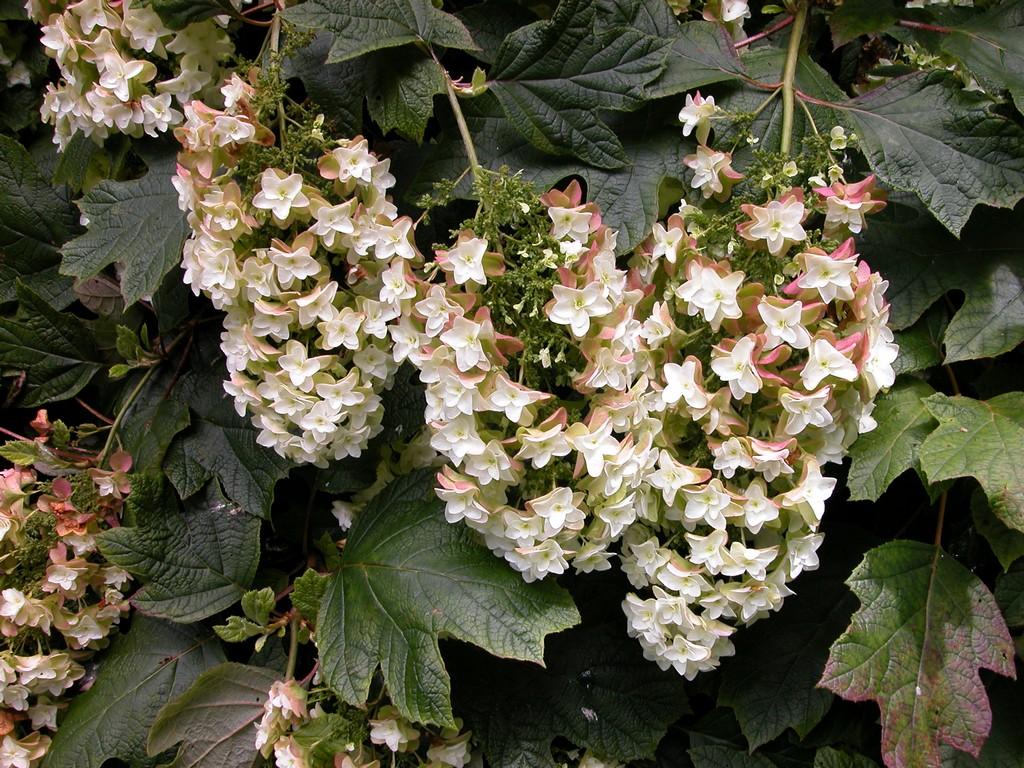 Hydrangea quercifolia snowflake woodleigh nursery for Hydrangea quercifolia