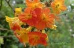 Streptosolen jamesonii (Marmalade bush)