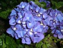 Hydrangea macrophylla Todi - Blue