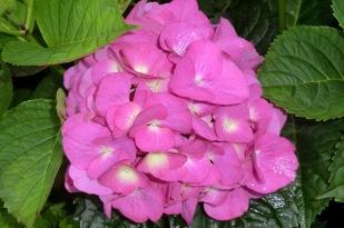 Hydrangea macrophylla Todi - Pink