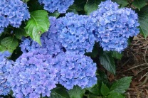 Hydrangea macrophylla Youme Together