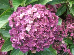 Hydrangea macrophylla Together - autumn