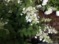 Hydrangea paniculata velutina