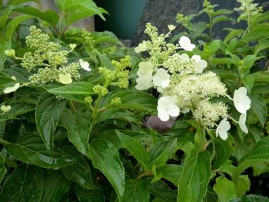 Hydrangea paniculata ssp viridis