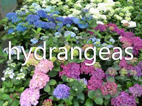 Woodleigh Nursery hydrangeas