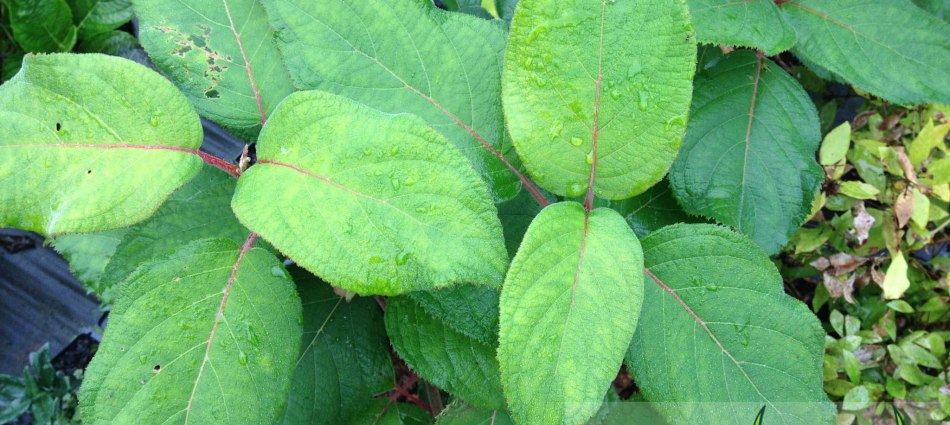 Hydrangea longipes