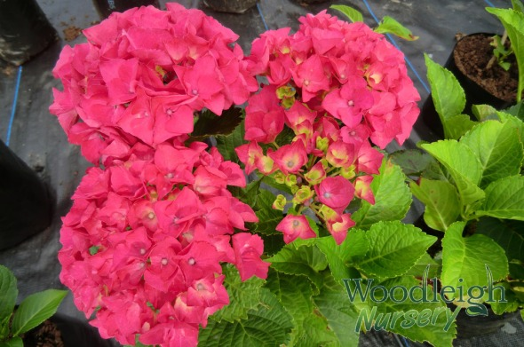 Hydrangea macrophylla Paris (P-Red)