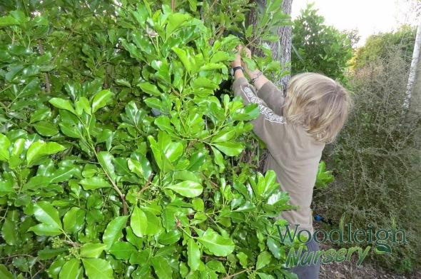 Harvesting Melicope ternata seed