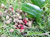 Titoki fruit and seed