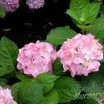 hydrangea-macrophylla-madame-plumecoq