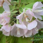 dombeya pink cloud