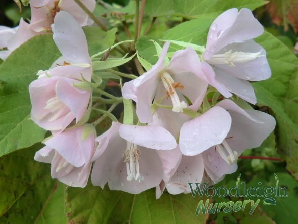 Dombeya 'pink cloud'