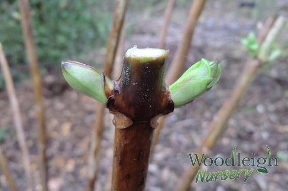 Hydrangea Pruning Buds - Flower