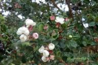 Myrtus luma