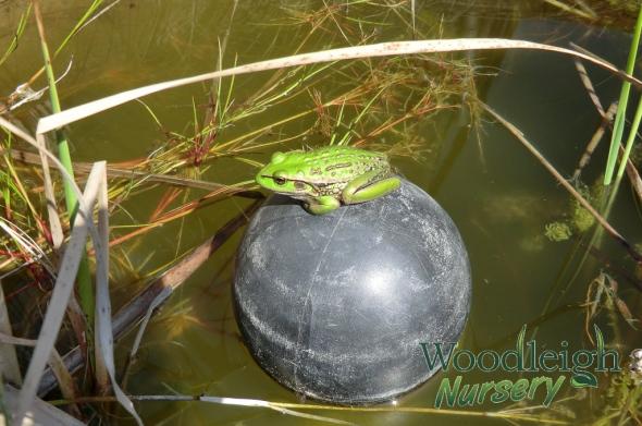 frog at Woodleigh Nursery